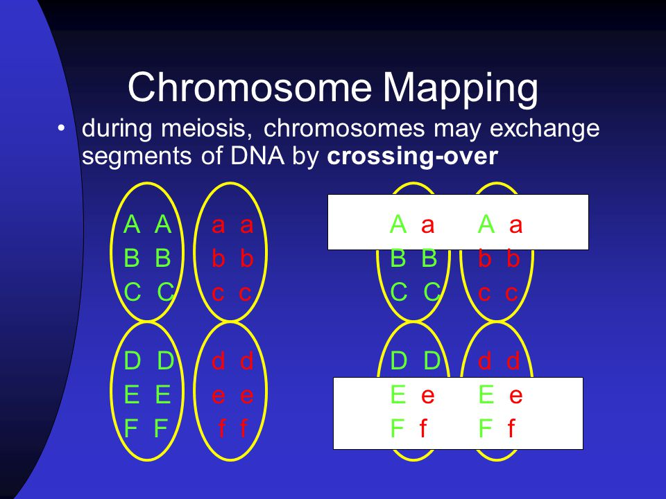 Chromosome Mapping during meiosis, chromosomes may exchange segments of DNA by crossing-over. A A a a A a A a.