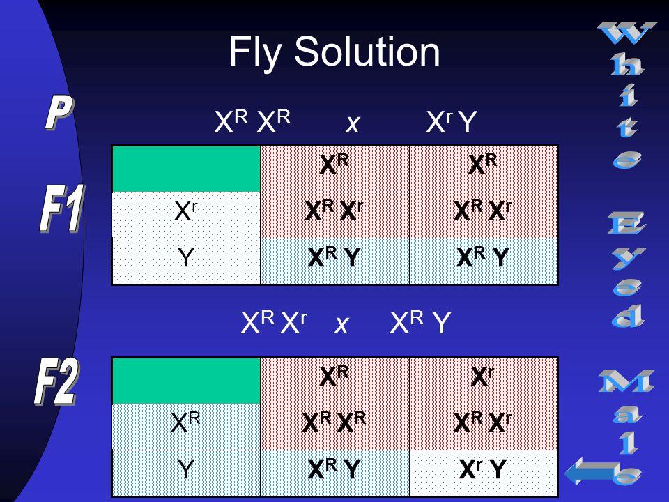 Fly Solution P White Eyed Male F1 F2 XR XR x Xr Y XR Xr x XR Y XR XR