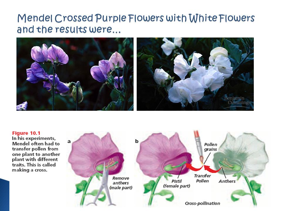 Mendel Crossed Purple Flowers with White Flowers and the results were…