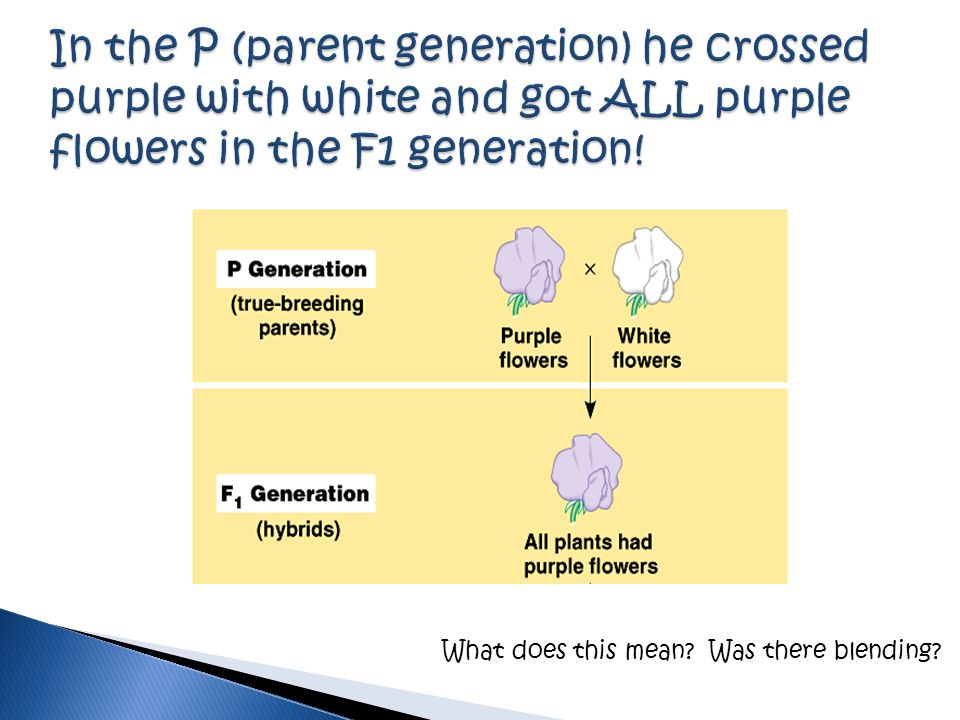 In the P (parent generation) he crossed purple with white and got ALL purple flowers in the F1 generation!