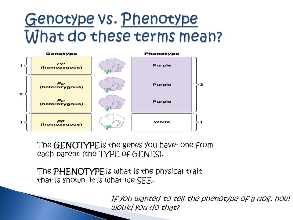 Genotype vs. Phenotype What do these terms mean