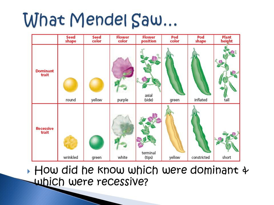 What Mendel Saw… How did he know which were dominant & which were recessive