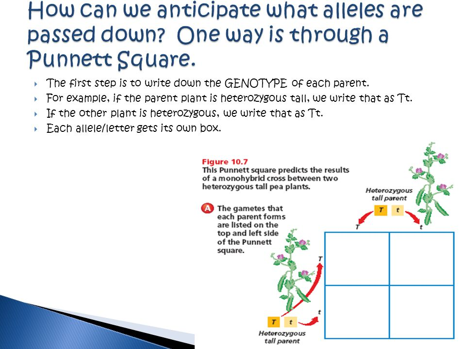 How can we anticipate what alleles are passed down