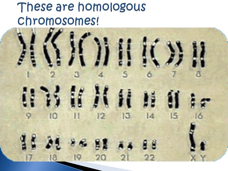 These are homologous chromosomes!