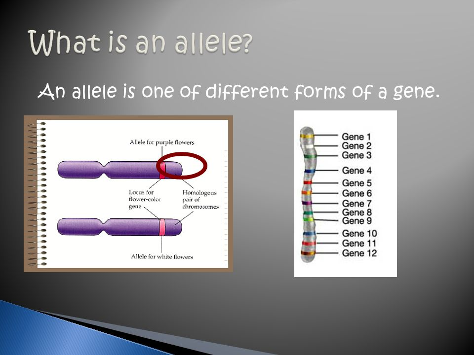 What is an allele An allele is one of different forms of a gene.