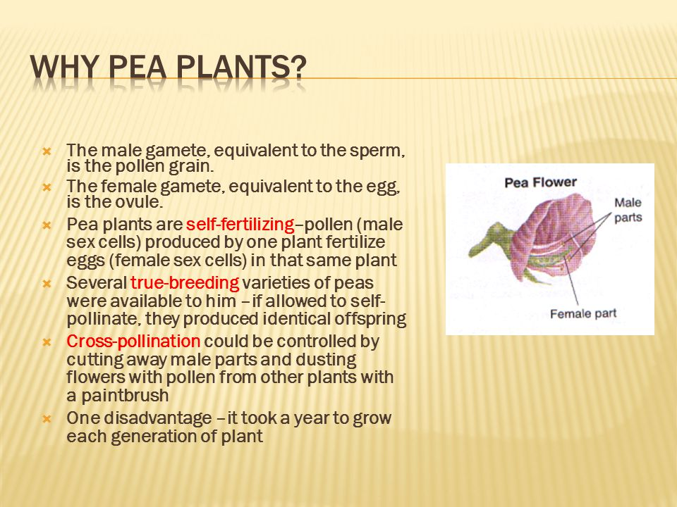 Why Pea Plants The male gamete, equivalent to the sperm, is the pollen grain. The female gamete, equivalent to the egg, is the ovule.