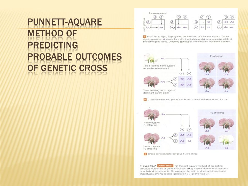 Punnett-aquare method of predicting probable outcomes of genetic cross