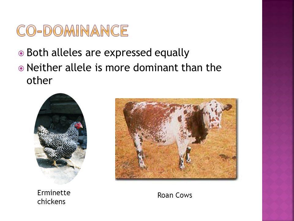 Co-dominance Both alleles are expressed equally