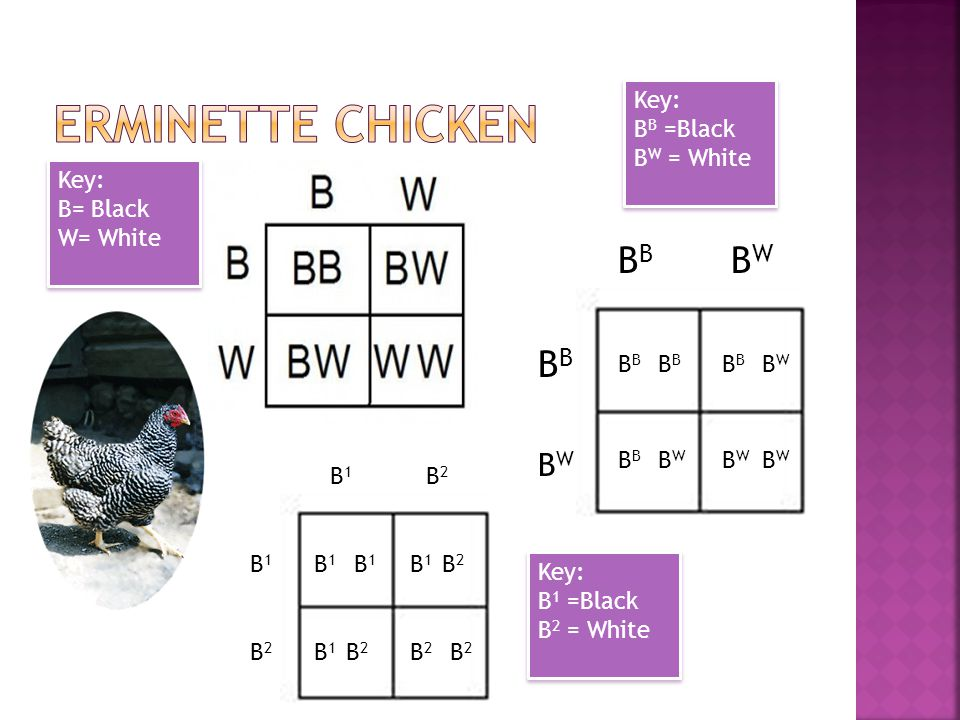 Erminette chicken BB BW BB BW Key: BB =Black BW = White Key: B= Black