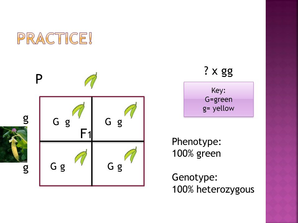 Practice! P F1 x gg g g G g G g Phenotype: 100% green Genotype: