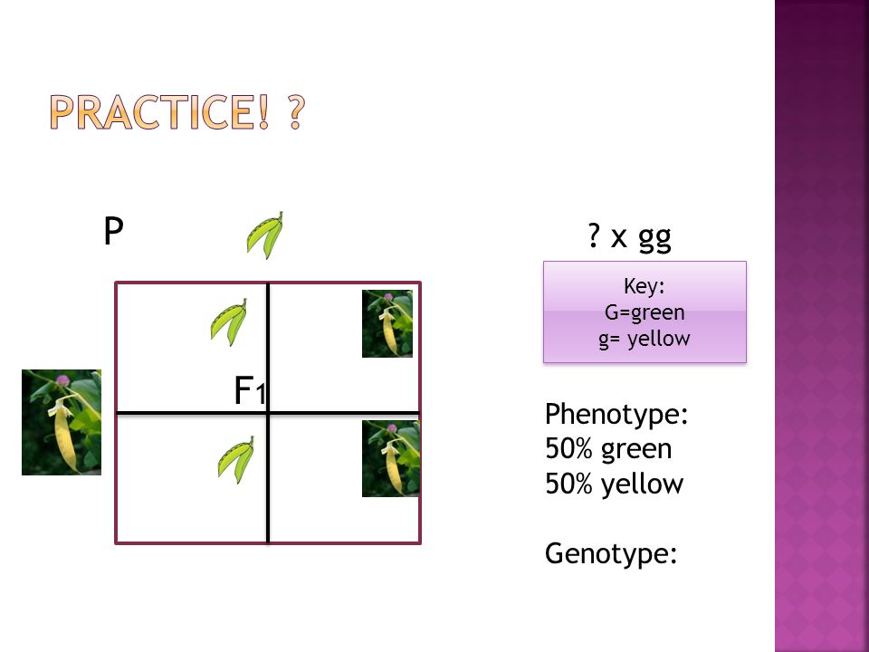 Practice! P F1 x gg Phenotype: 50% green 50% yellow Genotype: Key: