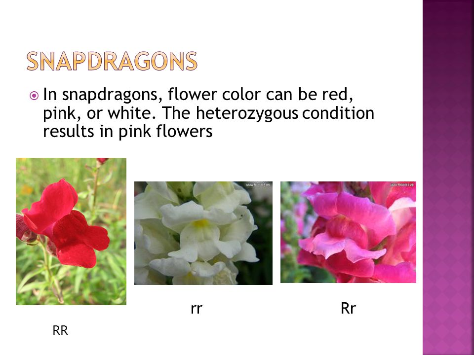 Snapdragons In snapdragons, flower color can be red, pink, or white. The heterozygous condition results in pink flowers.