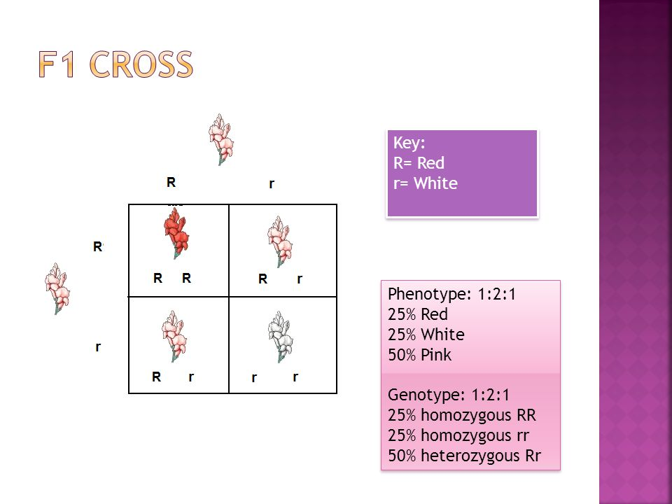 F1 Cross Key: R= Red r= White Phenotype: 1:2:1 25% Red 25% White