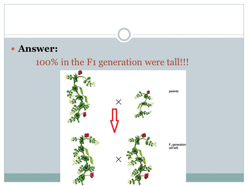 Answer: 100% in the F1 generation were tall!!!
