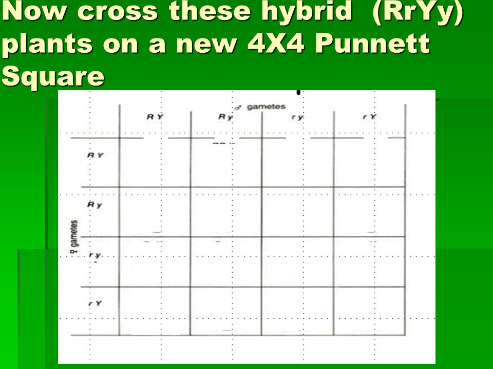 Now cross these hybrid (RrYy) plants on a new 4X4 Punnett Square