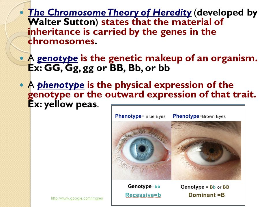The Chromosome Theory of Heredity (developed by Walter Sutton) states that the material of inheritance is carried by the genes in the chromosomes.