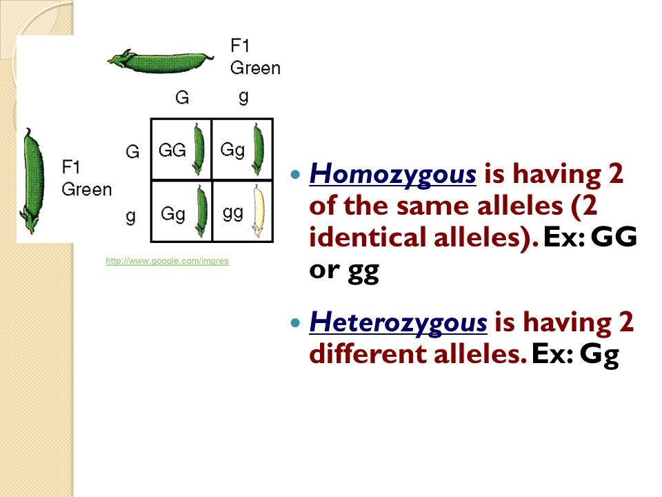 Homozygous is having 2 of the same alleles (2 identical alleles)