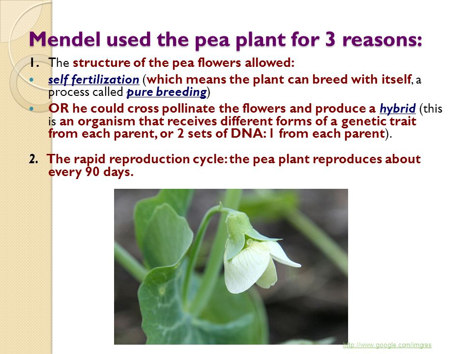 Mendel used the pea plant for 3 reasons: