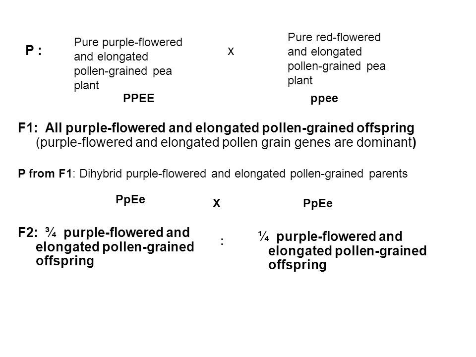 F2: ¾ purple-flowered and elongated pollen-grained offspring