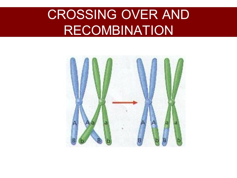 CROSSING OVER AND RECOMBINATION