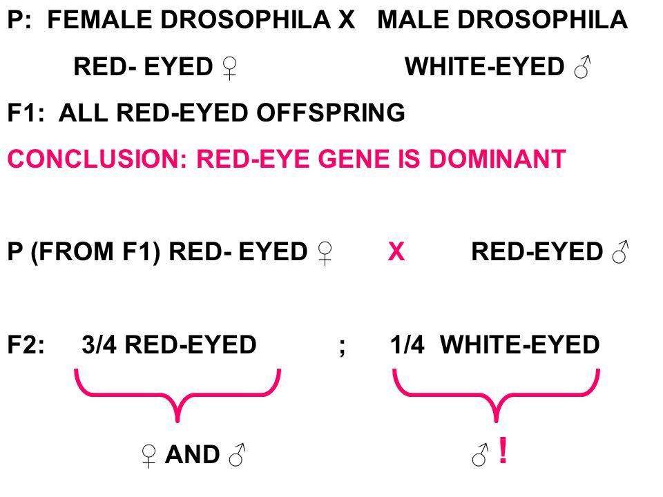 P: FEMALE DROSOPHILA X MALE DROSOPHILA