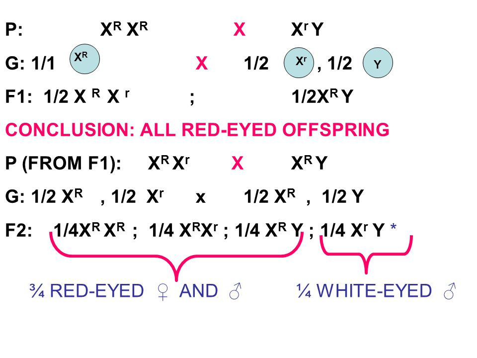 CONCLUSION: ALL RED-EYED OFFSPRING P (FROM F1): XR Xr X XR Y