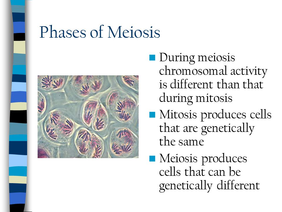 Phases of Meiosis During meiosis chromosomal activity is different than that during mitosis. Mitosis produces cells that are genetically the same.