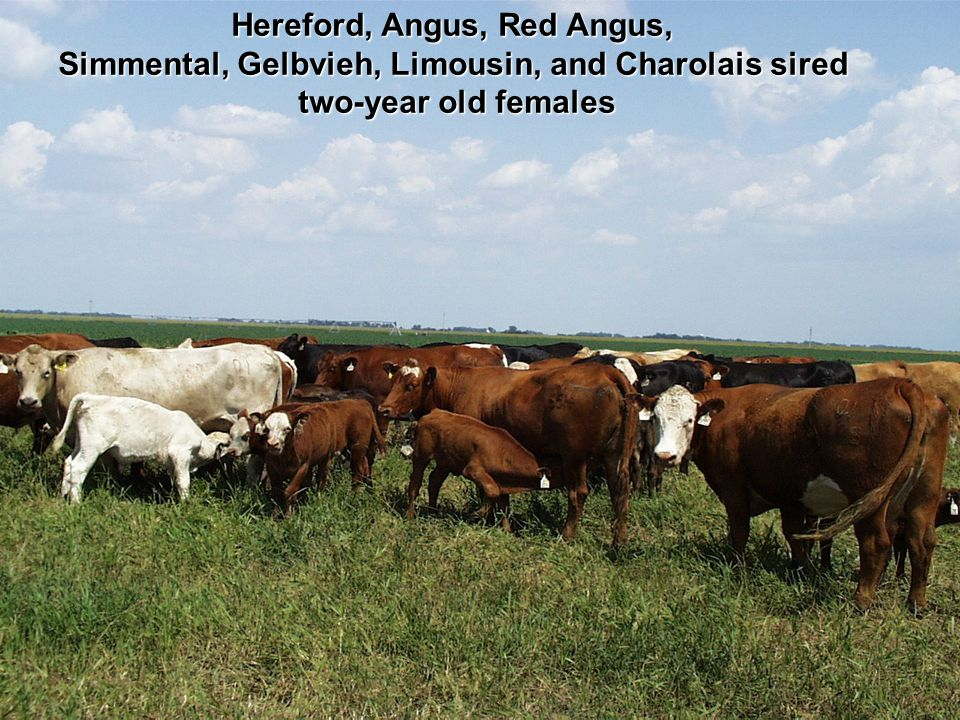 Hereford, Angus, Red Angus,