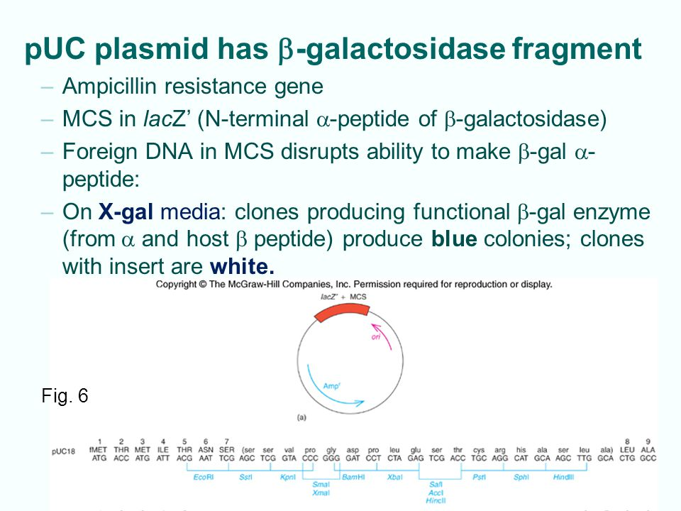 pUC plasmid has b-galactosidase fragment