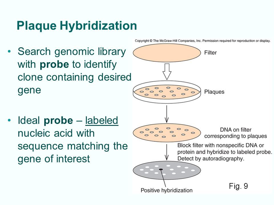 Plaque Hybridization Search genomic library with probe to identify clone containing desired gene.