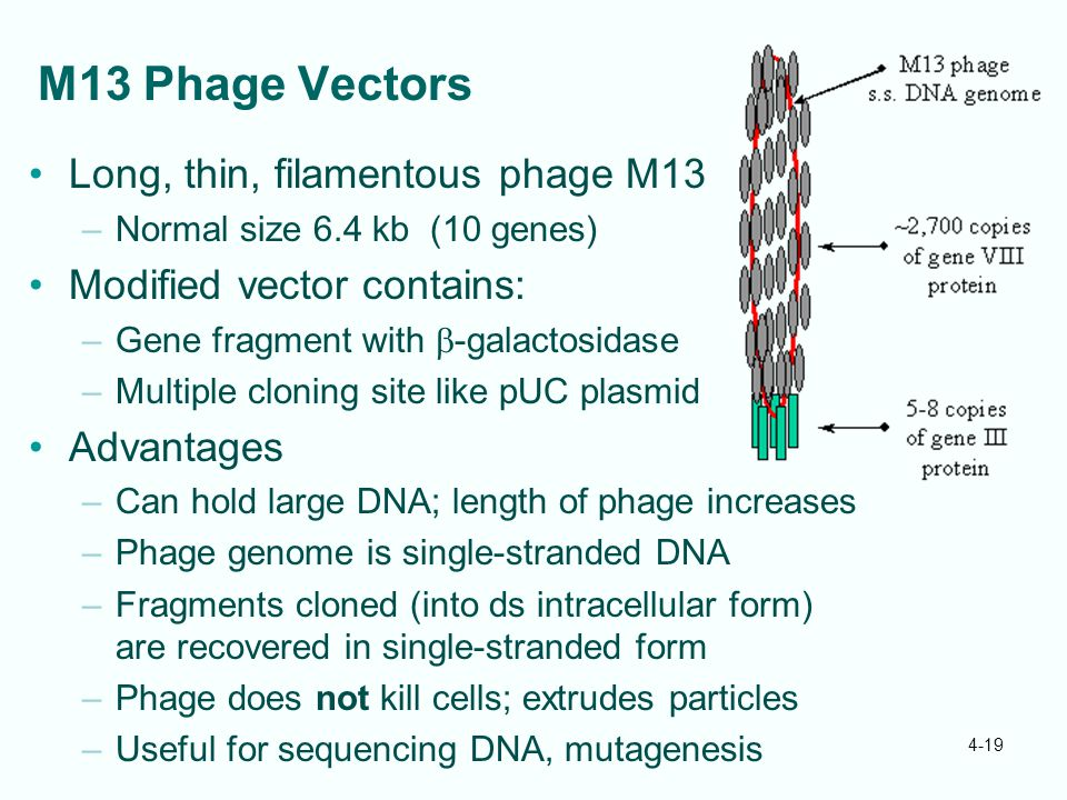 M13 Phage Vectors Long, thin, filamentous phage M13