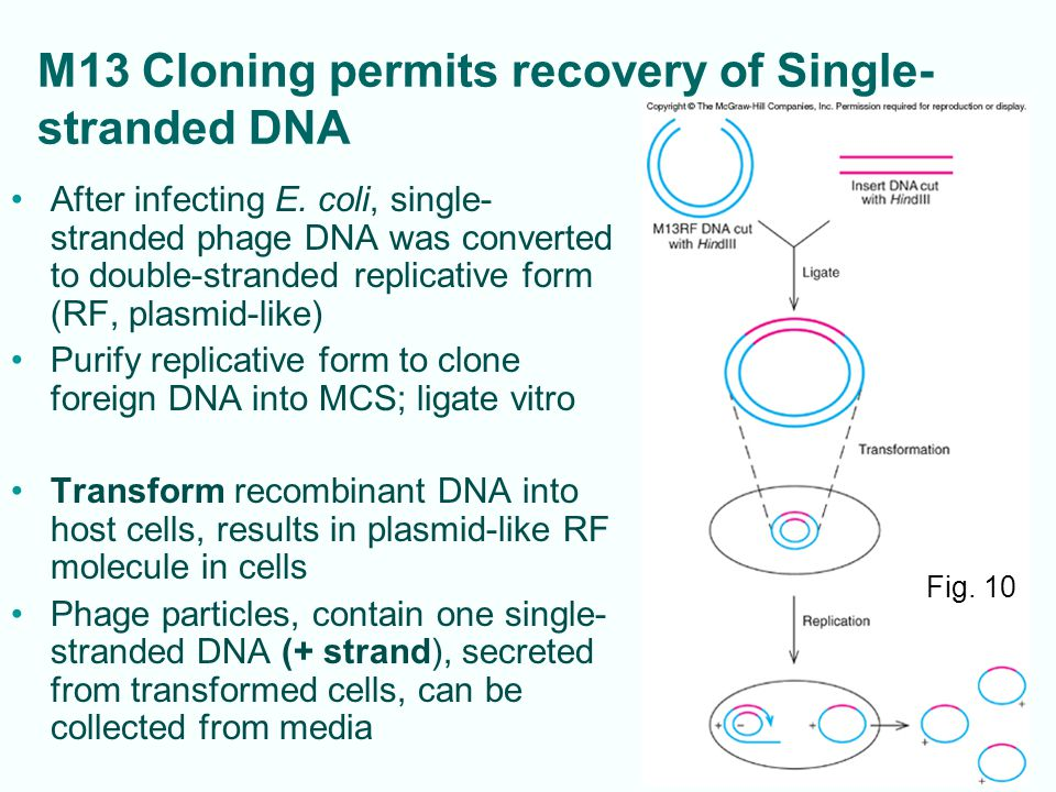 M13 Cloning permits recovery of Single-stranded DNA