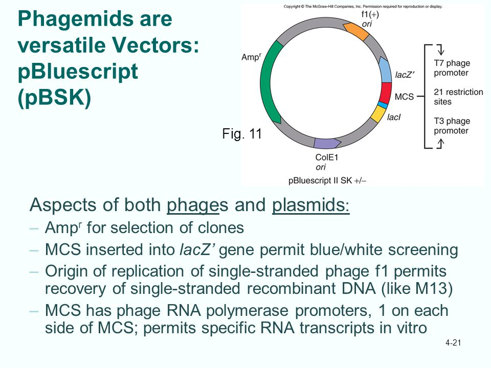 Phagemids are versatile Vectors: pBluescript (pBSK)