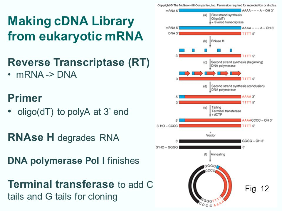 Making cDNA Library from eukaryotic mRNA