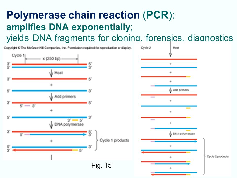 Polymerase chain reaction (PCR): amplifies DNA exponentially; yields DNA fragments for cloning, forensics, diagnostics
