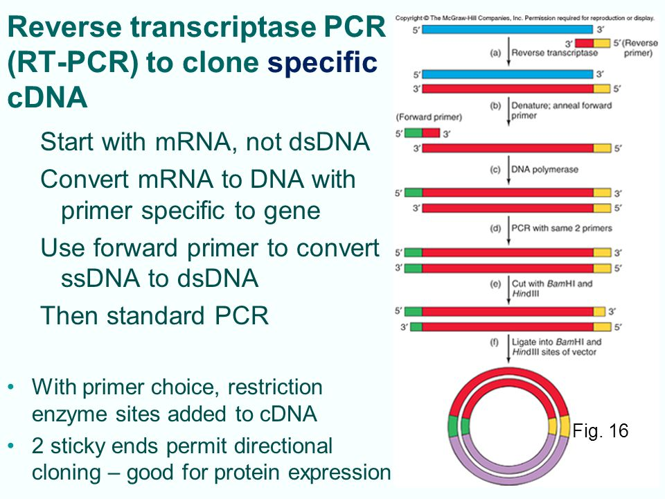 Reverse transcriptase PCR (RT-PCR) to clone specific cDNA