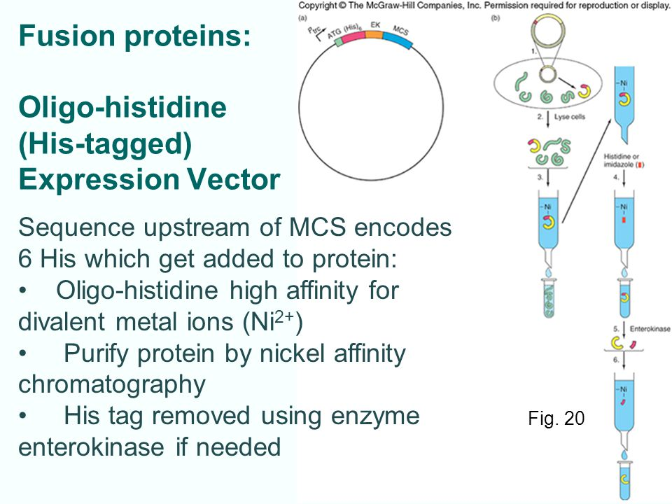 Fusion proteins: Oligo-histidine (His-tagged) Expression Vector