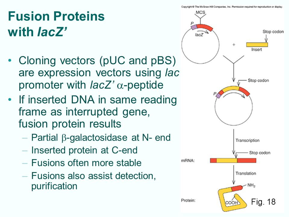 Fusion Proteins with lacZ'