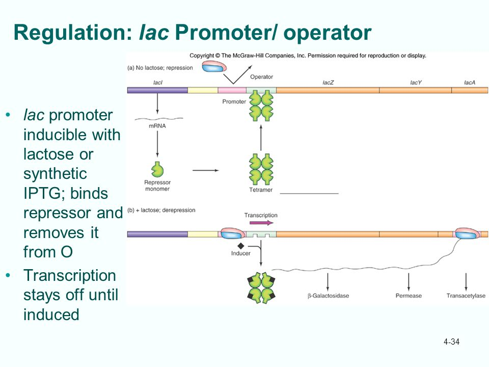 Regulation: lac Promoter/ operator