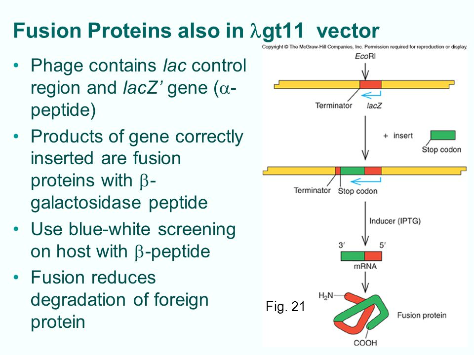 Fusion Proteins also in lgt11 vector