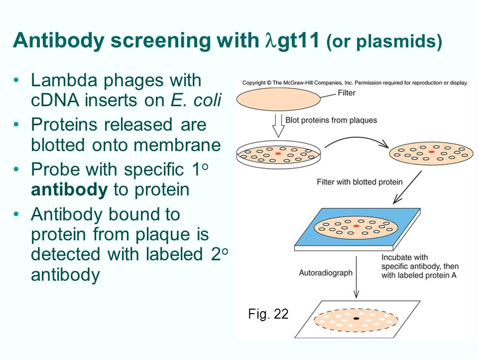 Antibody screening with lgt11 (or plasmids)