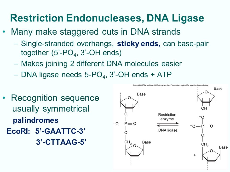 Restriction Endonucleases, DNA Ligase