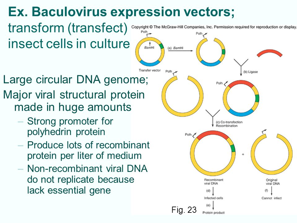 Ex. Baculovirus expression vectors; transform (transfect) insect cells in culture