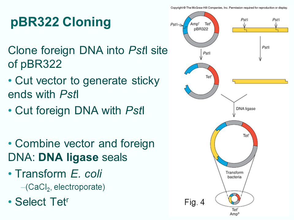 pBR322 Cloning Clone foreign DNA into PstI site of pBR322