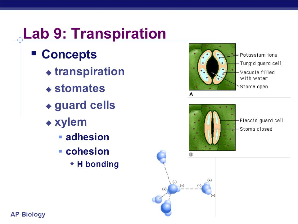 Lab 9: Transpiration Concepts transpiration stomates guard cells xylem