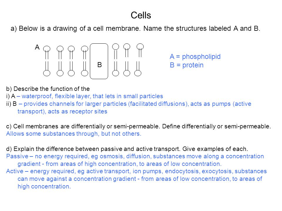Cells a) Below is a drawing of a cell membrane. Name the structures labeled A and B. A. A = phospholipid.