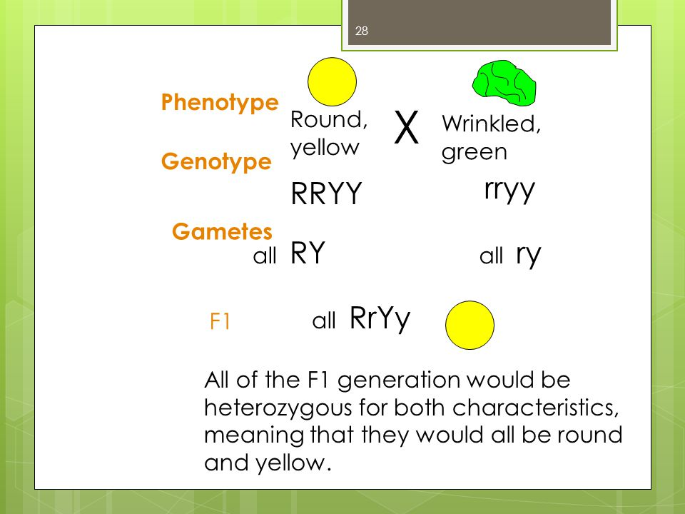 X rryy RRYY Phenotype Round, yellow Wrinkled, green Genotype Gametes