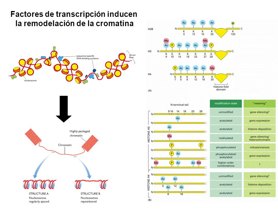 Factores de transcripción inducen la remodelación de la cromatina