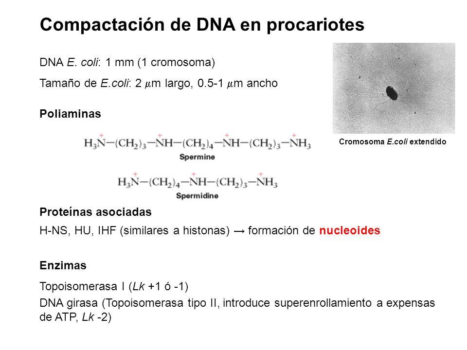 Compactación de DNA en procariotes