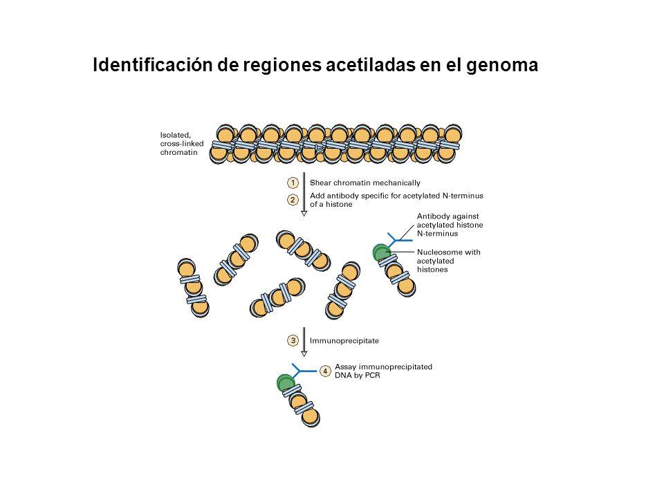 Identificación de regiones acetiladas en el genoma